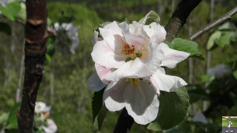 2015-05-09 : Les fleurs sont belles à La Mainmorte (39) 2015-05-09_fleurs_06