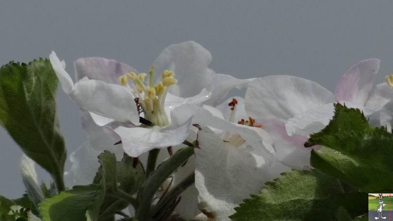 2015-05-09 : Les fleurs sont belles à La Mainmorte (39) 2015-05-09_fleurs_08