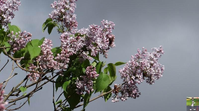 2015-05-09 : Les fleurs sont belles à La Mainmorte (39) 2015-05-09_fleurs_11