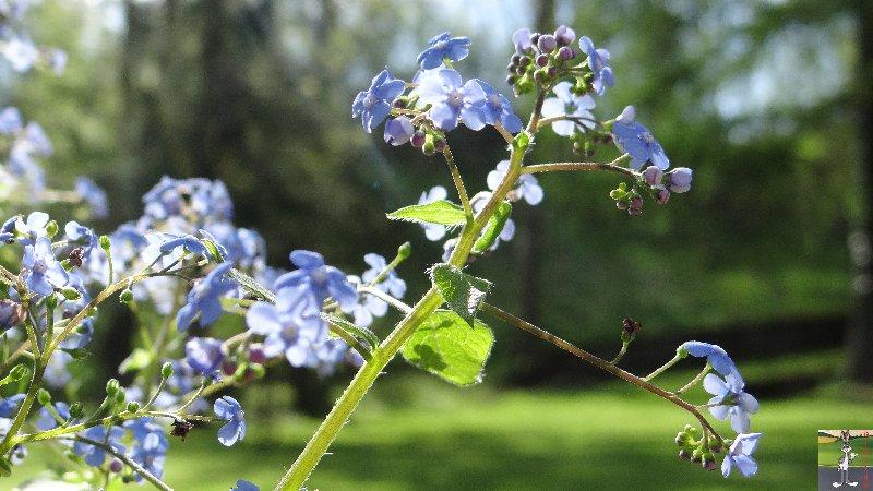 2015-05-09 : Les fleurs sont belles à La Mainmorte (39) 2015-05-09_fleurs_14