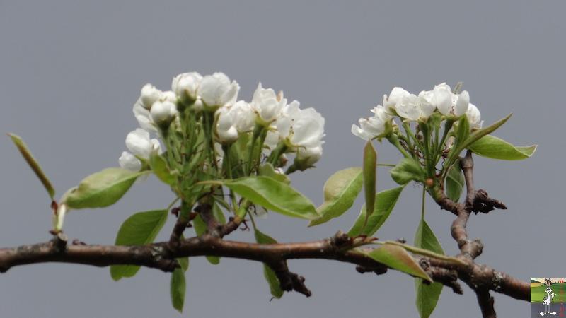 2017-04-15 : Arbres en fleurs et ciel gris à La Mainmorte (39) 2017-04-15_fleurs_ciel_gris_02