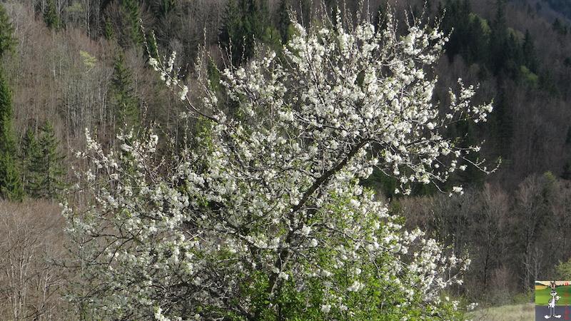 2017-04-15 : Arbres en fleurs et ciel gris à La Mainmorte (39) 2017-04-15_fleurs_ciel_gris_12
