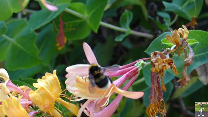 2017-08-07 : Fleurs à La Mainmorte (39) 2017-08-07_fleurs_20
