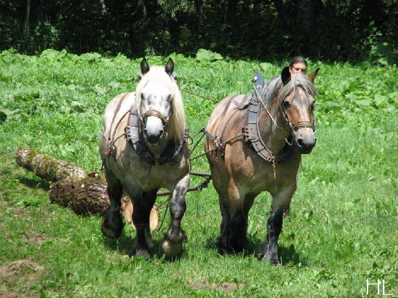 2010-07-27 : Débardage avec des chevaux - Hélène L. 0002