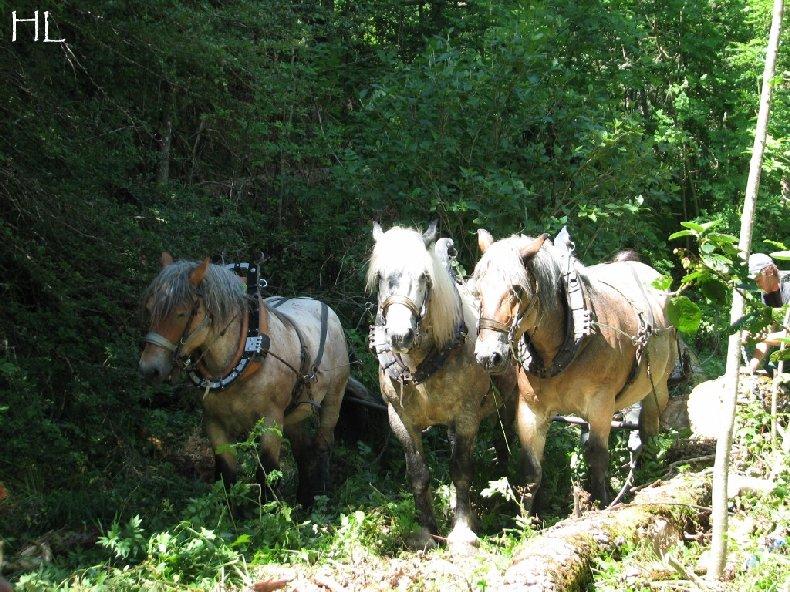 2010-07-27 : Débardage avec des chevaux - Hélène L. 0014