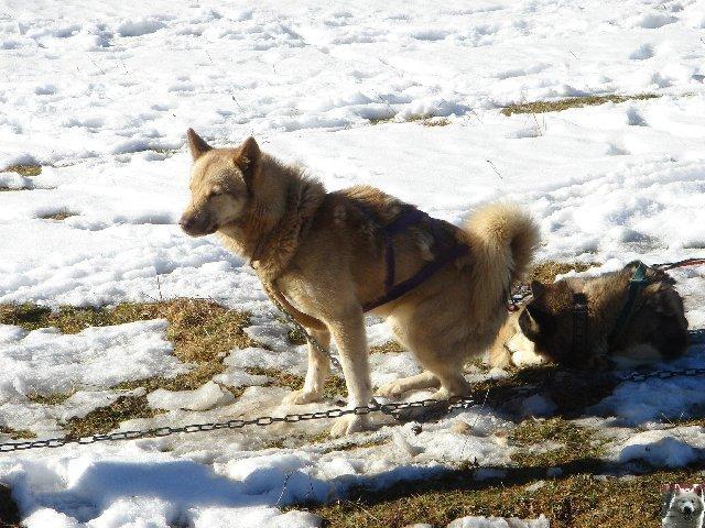 Attelages de chiens polaires - 04/02/2007 - (39) 0004