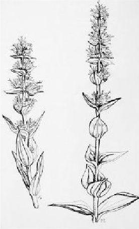 La Gentiane - Fleurs, Racines et Distillation - (25) 0003