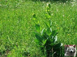 La Gentiane - Fleurs, Racines et Distillation - (25) 0013