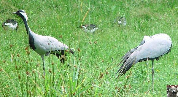 Quelques pensionnaires du Parc ornithologique des Dombes (01) 0021