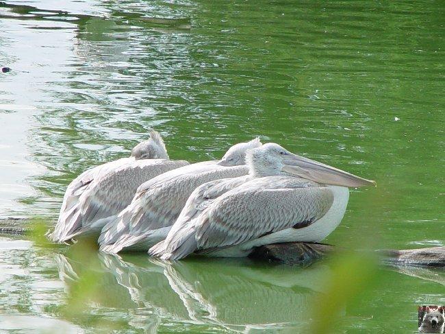 Quelques pensionnaires du Parc ornithologique des Dombes (01) 0052