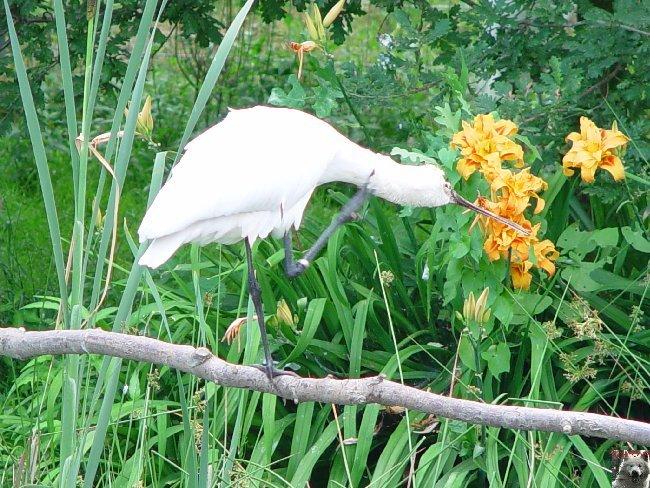 Quelques pensionnaires du Parc ornithologique des Dombes (01) 0053