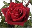 Los rosales calientes se levantan SB_Magic1