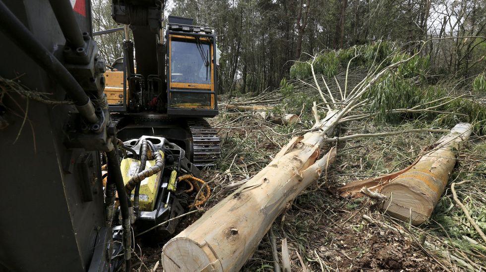 Más eucaliptos,  más   coníferas. Consecuencias de la sed de beneficio$ en la húmeda Galicia. El sector forestal. - Página 2 L14A5624