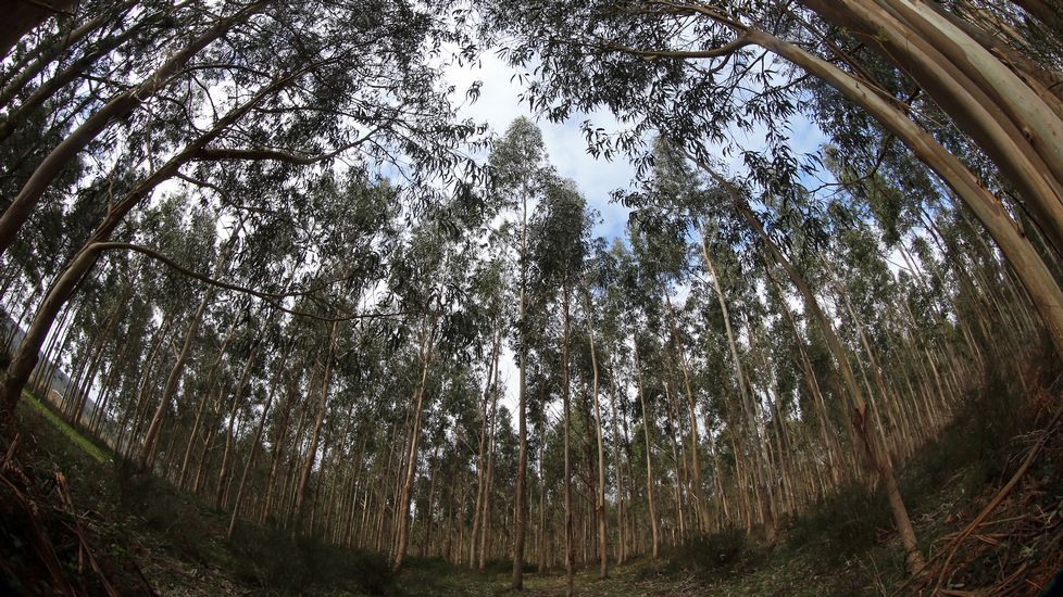 Más eucaliptos,  más   coníferas. Consecuencias de la sed de beneficio$ en la húmeda Galicia. El sector forestal. - Página 2