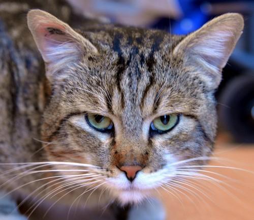Nos positifs !! 45 amours de chats à adopter - Page 2 Adouemajs