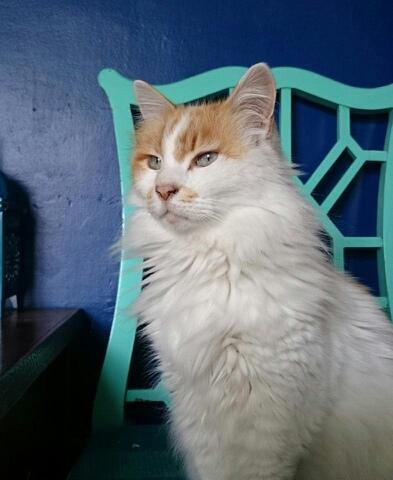 Les mamies et papis chats à l'adoption :) - Page 2 Pixie12