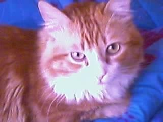 Les mamies et papis chats à l'adoption :) - Page 2 Tiger