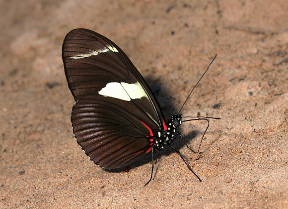 Bộ sưu tập cánh vẩy 4 - Page 49 Heliconius%20wallacei%200375-001a