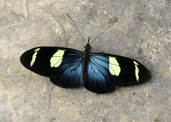 Bộ sưu tập cánh vẩy 4 - Page 49 Heliconius%20wallacei%200433-001a