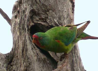 Lastavičasti papagaj (Lathamus discolor) Swift-parrot-4