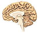 Le Mystère du Cerveau Cerveau1