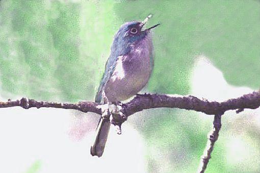 oiseau n° 2 - ajonc - 7 avril trouvé par Martine Gobe-moucheron-gris-bleu