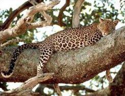 Životinje koje vas fasciniraju Leo_stablo