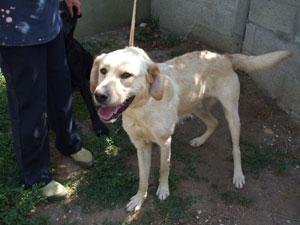 DINO  -  croisé  Labrador sable 12 ans (7 ans de refuge)   -  LES  AMIS  DES  BETES  A  MEDIS  (17) Photo_206