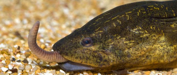 Le Saviez-Vous ? Un homme a été tué à cause d'une anguille insérée par ses amis dans son anus ! Anguille-asiatique