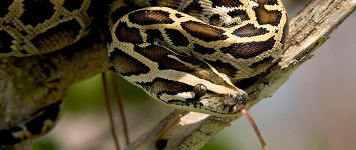 Le saviez-vous?Après chaque repas, le cœur du python birman double de taille ! Python-birman