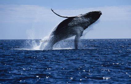 Les animaux Baleine-a-bosse