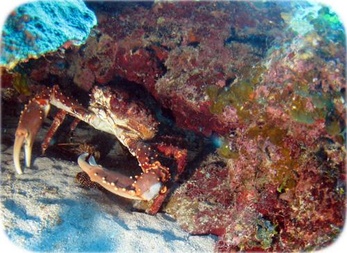 Escrito La Pesca del Mero por José Manuel López Pinto Hiding-crab-cropped