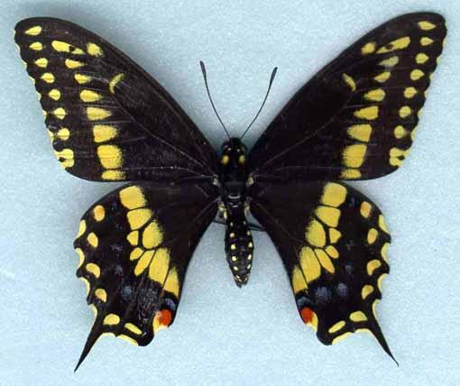 chenilles vertes et jaunes Polyxen1