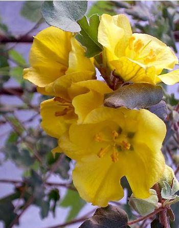 la fleur de Martin du 13 juin trouvée par Martine - Page 2 Fremontodendron