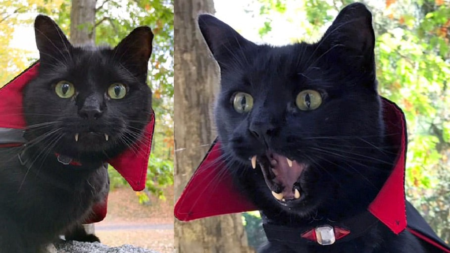 Nos amis les animaux. - Page 2 Chat-vampire-monk-canines-halloween