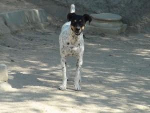 LOLA - x bodeguero 5 ans (1 an 1/2 de refuge)  Asso Levriers du Sud   - en fa Lola-3-300x225