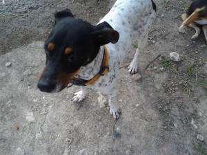 LOLA - x bodeguero 5 ans (1 an 1/2 de refuge)  Asso Levriers du Sud   - en fa Lola-300x225