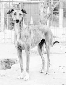 LEOo - galgo 6 ans - Asso Levriers du Sud - fa (34) Leo-tr-231x300
