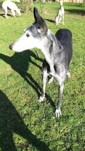 PATTY - galgo 10 ans - Asso Levriers du Sud - en fa (87) Patty-h-169x300