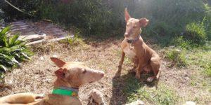 ZOEe  (Carmela)- podenco 11 ans - Asso Levriers du Sud Zoe-j-300x150