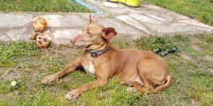 ZOEe  (Carmela)- podenco 11 ans - Asso Levriers du Sud Zoe-p-300x150