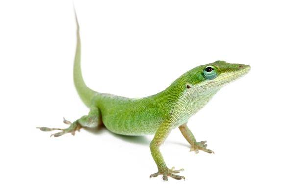Nouvelle classification scientifique des reptiles.  ANOCAR-F