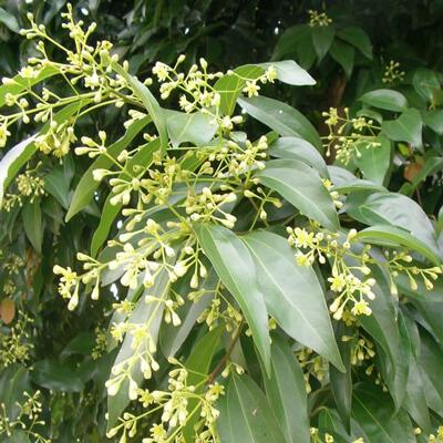 VƯỜN CÂY HOA ĐV I - Page 3 Cassia-cinnamomum-cassia_4x