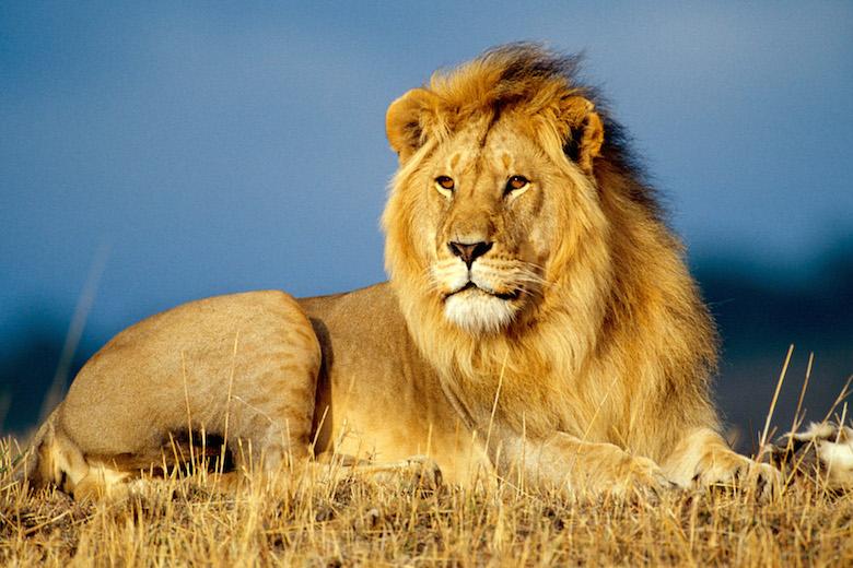 Les communes revisitées ! African_lion_king-wide_1
