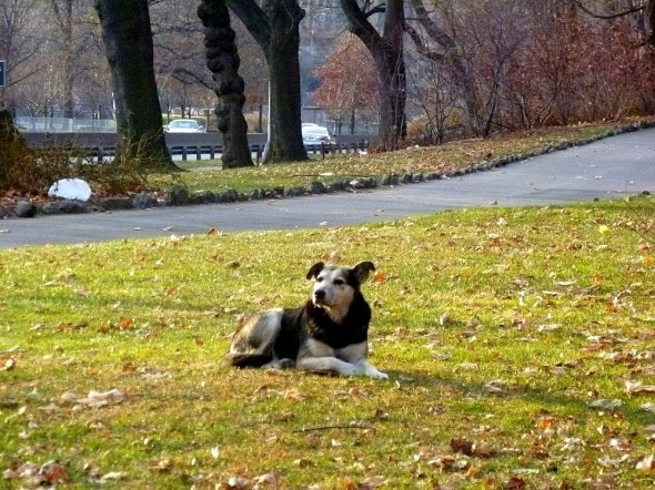 Woman Sleeps in Freezing NYC Park to Save Feral Dog 2.19.15-Woman-Sleeps-in-NYC-Park-to-Save-Senior-Feral-Dog8-590x442