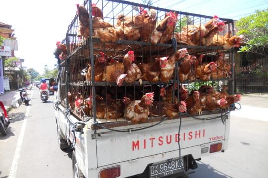 Auto : Voitures insolites Cage-a-poules-886592