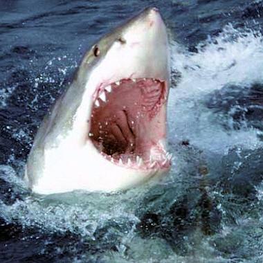 Le Grand Requin Blanc 3-requin-blanc-romain-catros