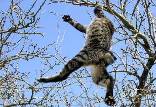 Lidojošie kaķi - Page 2 Chat-tarzan-419272