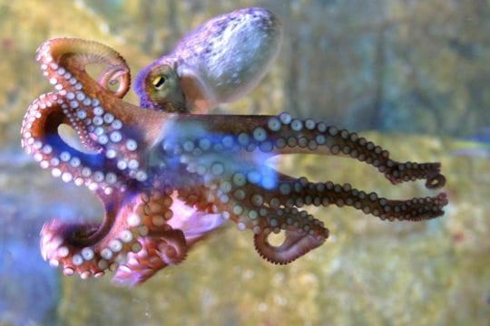 PEINTURE : peindre une pieuvre  Pieuvre-348500
