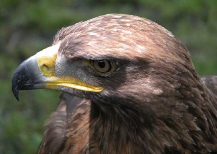 Deux millions d'euros pour la préservation de l'aigle royal et du faucon sacré en Bulgarie… Aigle-royal-claude-garnier